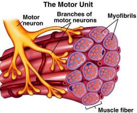 muscle-motor-unit